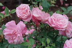 rosa chinensis china rose pfaf plant