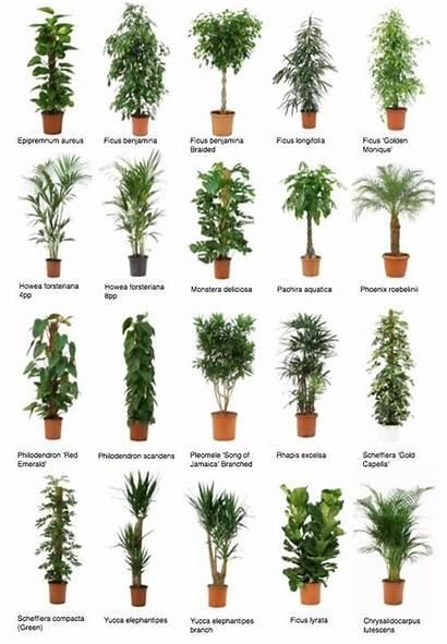 Plants Indoor Office Common Trees Zimmerpflanzen Plant