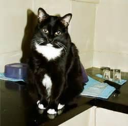 tuxedo cats file tuxedo cat kitty jpg