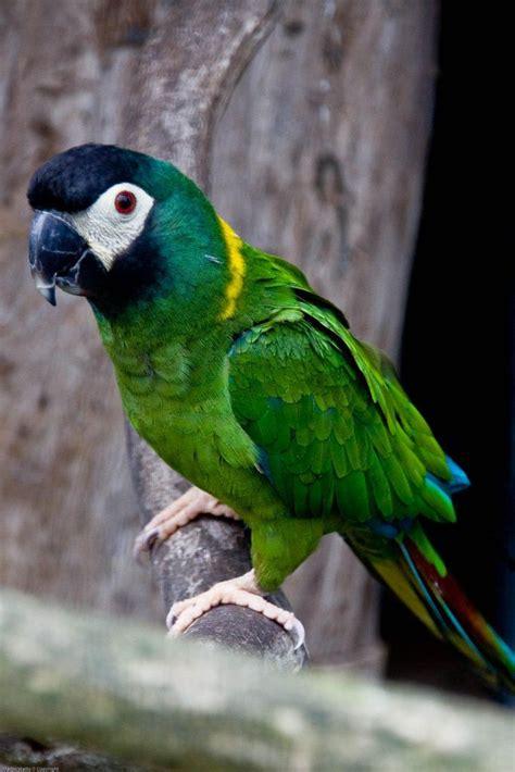 mini macaw golden collared macaw