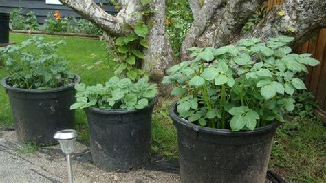 growing sweet potatoes  missouri longfellows garden