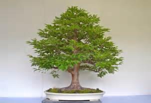 oak bonsai trees