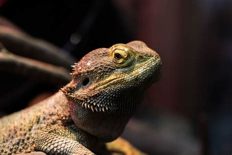bearded dragon substrates keeping exotic pets