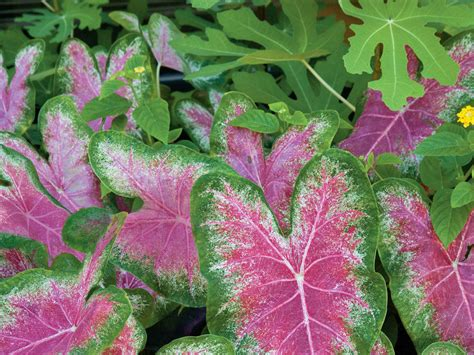 Southern Living Kitchen Ideas - how to grow caladiums southern living