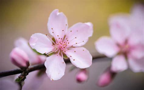 jeffrey friedls blog pretty   peach blossom