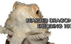 bearded dragon food chart google search for the