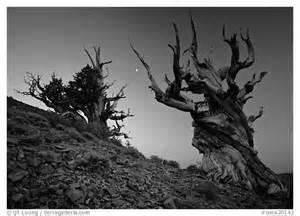Black and White Pine Tree