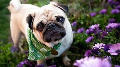 Pug Puppies Wallpapers Ipad Flowers