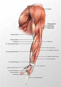 Arm Lateral Muscles 3d Illustration Labeled