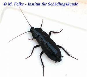 Kakerlaken ähnliche Insekten : orientalische schabe blatta orientalis ~ Articles-book.com Haus und Dekorationen