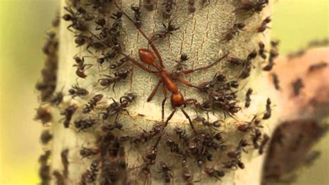 Aggressive Azteca Ants Pin Down an Army Ant - YouTube
