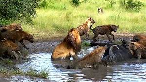 Lions Vs Hyenas  Competing Interests