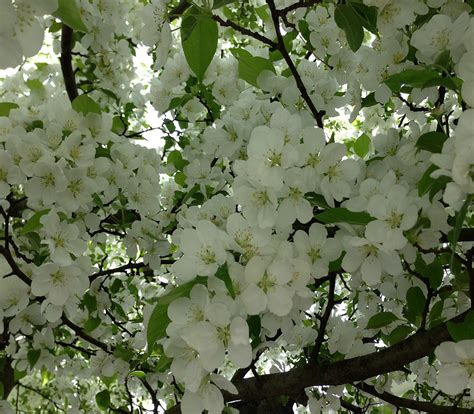 trees with white flowers top 28 what tree blooms white flowers what do i know
