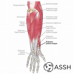 Glute Muscles Diagram  U2014 Untpikapps