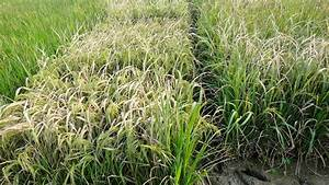 Rice Plant Engineered With A  U2018tunable U2019 Immune System Could