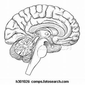 Brain Sagittal Section H
