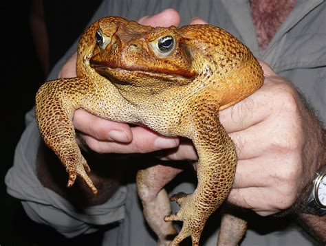 Cane Toads Are Out Of Control In Australia Because They