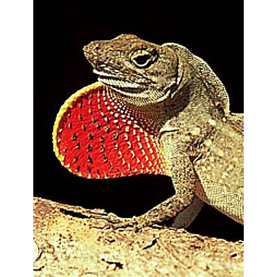 155 best images about Fan-throated Lizards on Pinterest