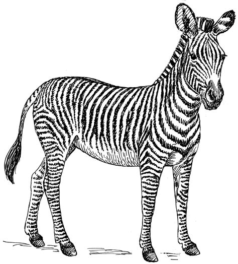 zebra  animals printable coloring pages