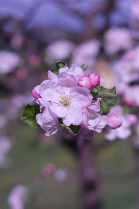 Free Images : tree nature branch blossom flower petal