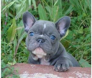 18 Most Beautiful Blue French Bulldog Pictures