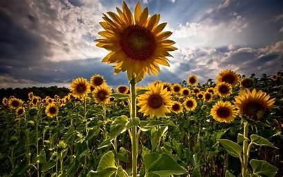 Sunflowers Amazing Flower Wallpapers Widescreen Sunflower Background