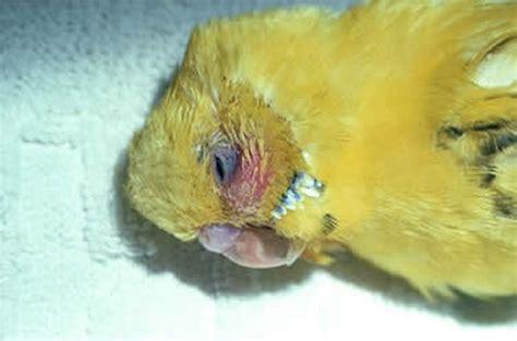 bacterial diseases  pet birds exotic  laboratory