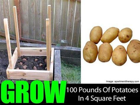 grow  pounds  potatoes   square feet