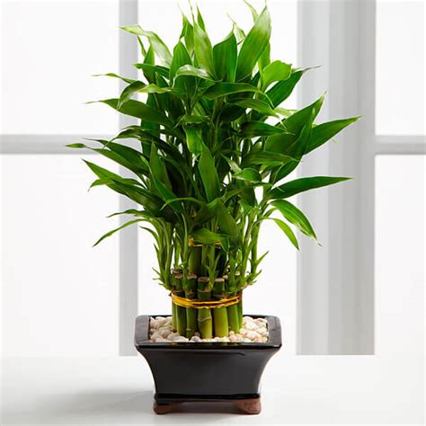 Lucky Bamboo Pflege by Lucky Bamboo Dracaena Sanderiana Indoor House Plants