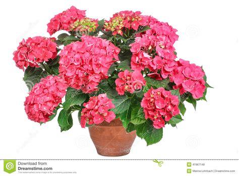 pink hydrangea stock photo image 41967148