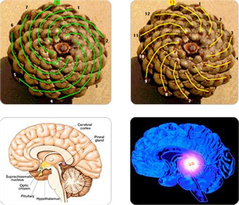history symbolism  eye pinecones