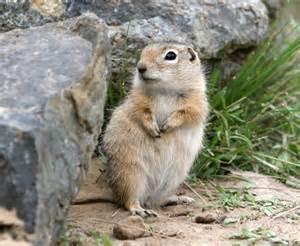 Washington Ground Squirrel