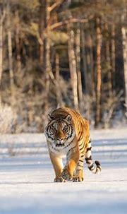 Tiger 4k Ultra HD Wallpaper   Background Image   4334x2890 ...