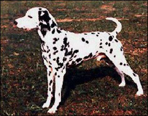 dog breed dalmation malaysia dog  puppy portal