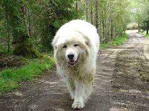17 best images about great pyrenees on pinterest best With great pyrenees dog house plans