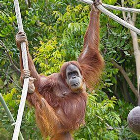 orangutan san diego zoo kids