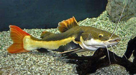 aquarium catfish species  ultimate catfish guide