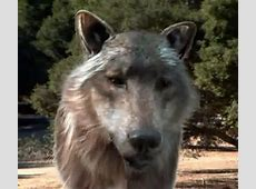 Prehistoric Predator The Dire Wolf Life With Dogs