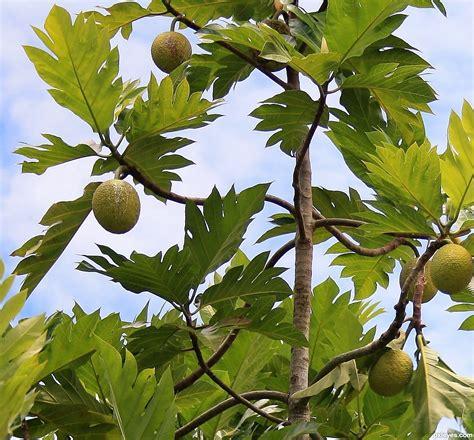 breadfruit picture  tsheltz  fruit  tree