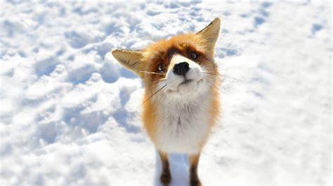 anime snow fox animals wallpapers hd desktop