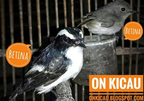 Download mp3 suara decu kembang gratis, ada 14 daftar lagu salah satunya ciri dari burung decu kembang jantan. Ciri-ciri perbedaan burung Decu Kembang jantan dan betina - On Kicau