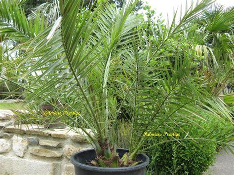 canariensis en pot canariensis en pot 28 images canariensis 1 plante achetez en ligne sur commander vite