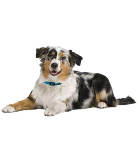 australian shepherd puppies dogs  adoption
