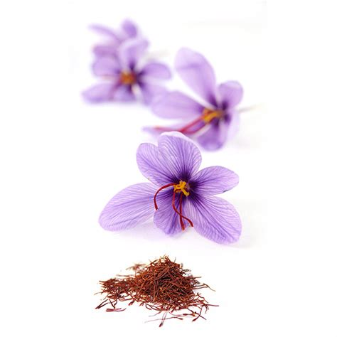 buy grow your own saffron saffron crocus bulbs crocus