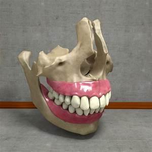 3d Human Jawbones Teeth Gums Model