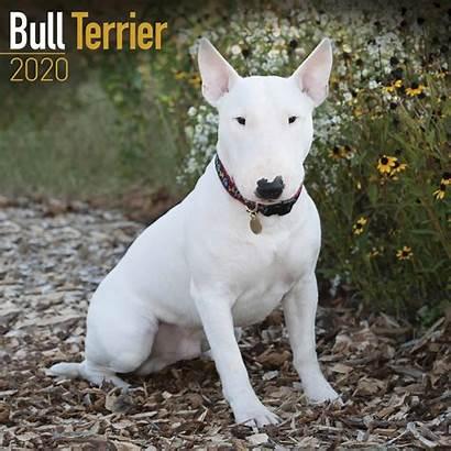 Bull Terrier Dog Bullterrier Calendar Calendrier Breed