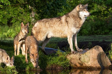 conservation wildlife keystone species nrdc protect solution policy