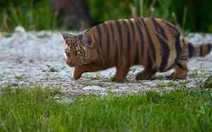 Tigercat by mason white - Photoshop Creative