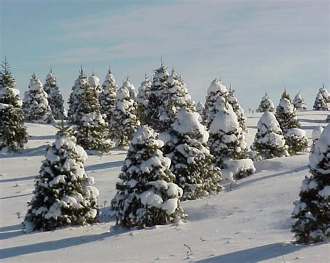 christmas trees in northern mi 138 best michigan my roots images on michigan travel northern michigan and