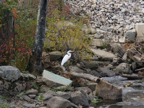 fly fishing nh river cocheco reports fish england